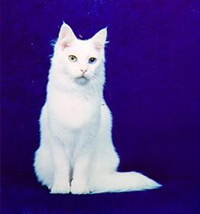 Turkish Angora_Odd-Eyed White.jpg (6790 個位元組)